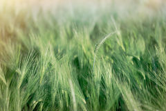Green wheat field, unripe crop field lit by sunlight, wheat, oat, rye, barley - unripe agricultural field Stock Image