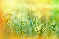 Green wheat field - Unripe wheat Royalty Free Stock Images