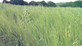 Green wheat field. A video of young green crops blowing in the wind stock footage