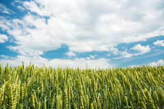 Green wheat field Stock Image