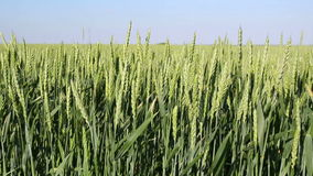 Green Wheat Field Waves Moved by Summer Wind stock video