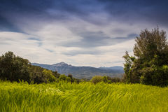 Green wheat field waving wind landscape Royalty Free Stock Photo