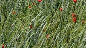 Green wheat in the field. Between the wheat grow red poppies. Plants are swing in the wind stock video footage