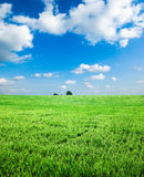 Green wheat field with white clouds Stock Images