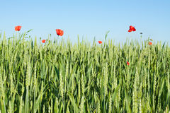 Green wheat field with wild poppies and blue sky Stock Images