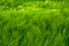 Green wheat on the field in the wind royalty free stock photography