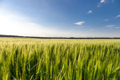 Green wheat on the field Stock Photos