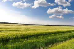 Green wheat on the field Royalty Free Stock Photos