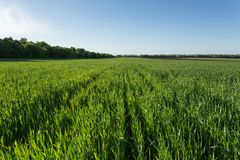 Green wheat field. Young green wheat field under the blue sky before sunset, top view Royalty Free Stock Photos