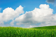Green wheat fields. With blue sky royalty free stock photography