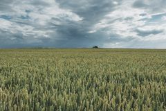 Green wheat fields on a cloudy day. Picturesque dramatic sky. Countryside landscape, agricultural fields, meadows and. Farmlands in summer. Environment friendly Stock Photo