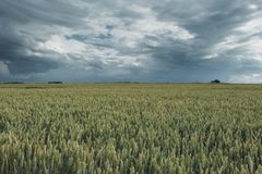 Green wheat fields on a cloudy day. Picturesque dramatic sky. Countryside landscape, agricultural fields, meadows and. Farmlands in summer. Environment friendly Stock Photography