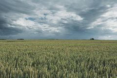 Green wheat fields on a cloudy day. Picturesque dramatic sky. Countryside landscape, agricultural fields, meadows and. Green wheat field on a cloudy day Stock Images