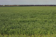 Green Wheat Fields, halfway through their growth. stock images