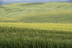 Green wheat fields in the hills of Tuscany Stock Image