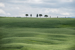 Green wheat fields in the hills of Tuscany Royalty Free Stock Photography