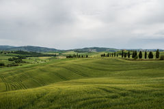 Green wheat fields in the hills of Tuscany Stock Photo