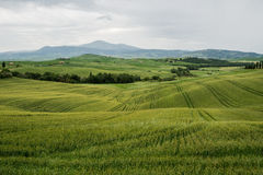 Green wheat fields in the hills of Tuscany Royalty Free Stock Photo