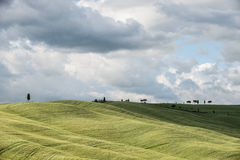 Green wheat fields in the hills of Tuscany Stock Photos