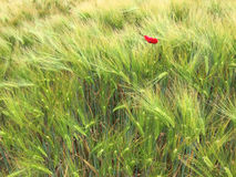 Green wheat fields with a red poppy. Red poppy lost in a cornfield Stock Images