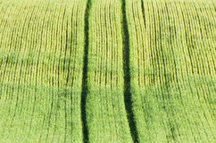 Green wheat fields Royalty Free Stock Image
