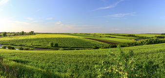 Green wheat fields at sunset with blue cloudless sky.  Royalty Free Stock Images
