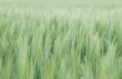 Green wheat filed in the countryside royalty free stock photo