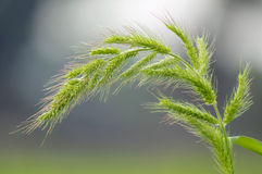 Green wheat and flour Royalty Free Stock Images