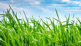 Green Wheat. Wheat in front of the sky - still growing Stock Photography