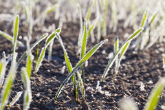 Green wheat in frost, close-up Stock Images