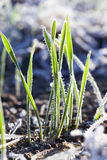 Green wheat in a frost Royalty Free Stock Photography