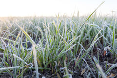 Green wheat, frost Royalty Free Stock Photos