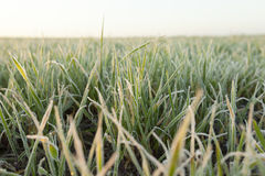 Green wheat, frost Stock Photos