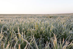 Green wheat, frost Royalty Free Stock Photo