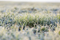 Green wheat, frost Royalty Free Stock Photography