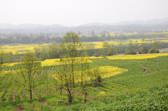 Green wheat and golden rape flowers Royalty Free Stock Images