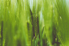 Green Wheat Grain Stock Images
