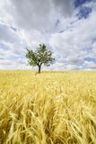 Green wheat on a grain field in Andalusia Stock Photo
