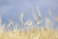 Green wheat on a grain field in Andalusia Royalty Free Stock Images