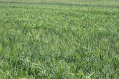 Green wheat on a grain field grass texture. The Green wheat on a grain field grass texture background Stock Photo