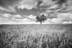 Green wheat on a grain field in spring, black and white photogra Royalty Free Stock Photos