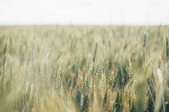 Green Wheat Grain Focus Photography Stock Images