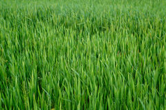 Green Wheat Grass Stock Photos
