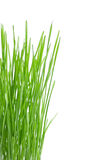 Green wheat grass Royalty Free Stock Photography