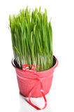 Green wheat grass. Organic wheat grass, in decorated flower pot on white background Stock Photography