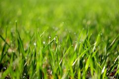 Green wheat grass with dewdrops. In the morning royalty free stock images