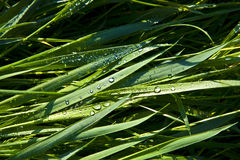 Green wheat grass with dewdrops Stock Photography