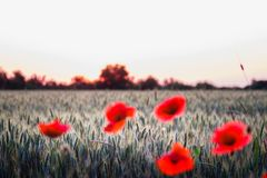 Green wheat grass field behind corn roses. Wheat grass field at sunset, wheat grass field behind blurred red corn roses stock photo