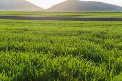 Green Wheat Grass field. Sunlit Green agricultural field in spring. Long blades of green wheat grass in early Spring Royalty Free Stock Images