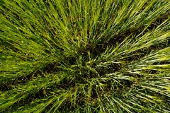 Green wheat grass growing in field background texture Stock Photo